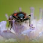 Auge in Auge mit dem zottigen Bienenkäfer