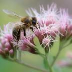 Biene auf Wasserdost
