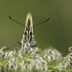 Schwalbenschwanz auf wildem Rüebli