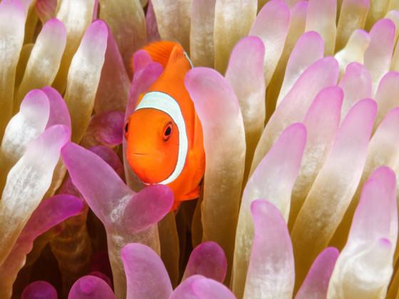 Premnas biaculeatus Stachel Anemonenfisch