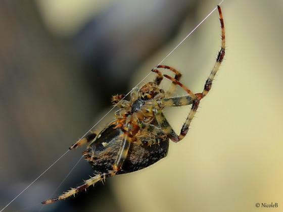 Kreuzspinne beim Faden spinnen