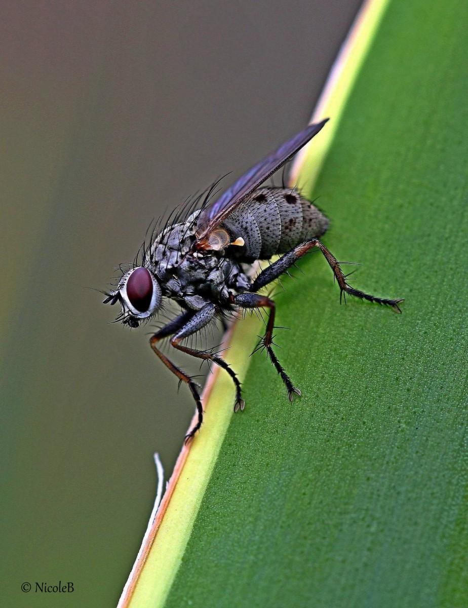 ne lästige Fliege