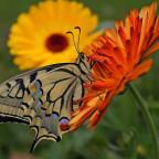 Ritterfalter auf Ringelblume