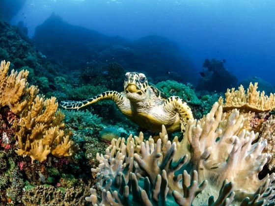 Neugierige Schildkröte und Riff