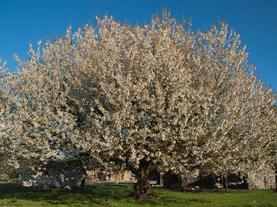 Kirschbaum Blüten