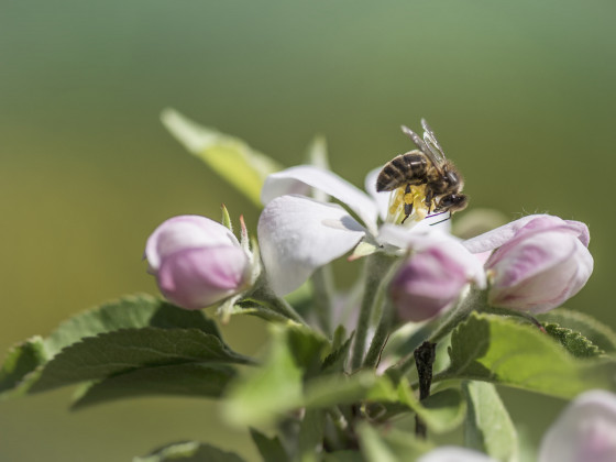 Pollentransporter an Apfelblüte