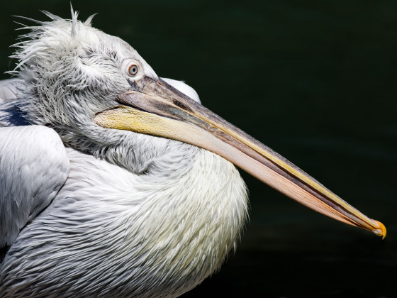 Pelikan II