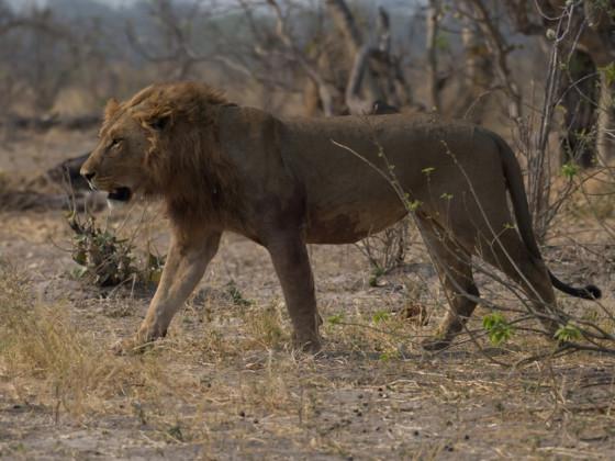 Löwe auf der Pirsch