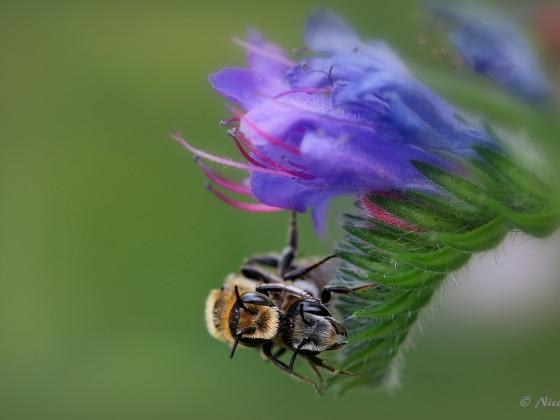 Wildbienenpaarung