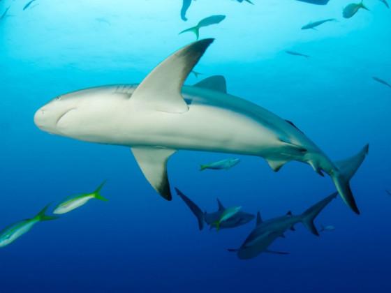 Carcharhinus perezi Karibischer Riffhai (Hochformat)