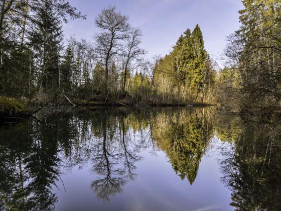Spiegelung im Auwald