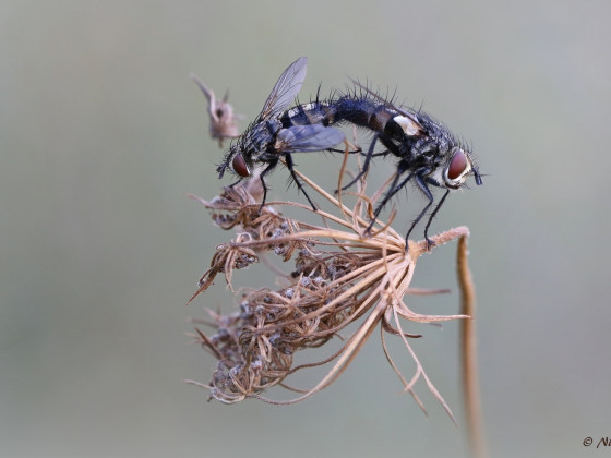 Fliegenpaarung auf wilder Möhre