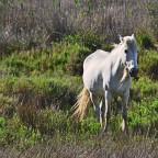 Weisse Wildpferde in der Albufera