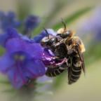 Wildbienen....