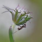 Ameise auf wilder Möhre