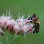 Biene an Wasserdost