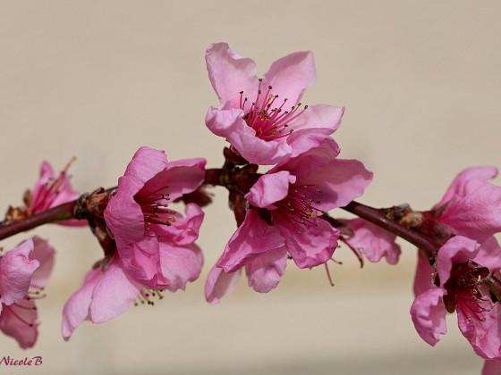 Nektarinenblüten