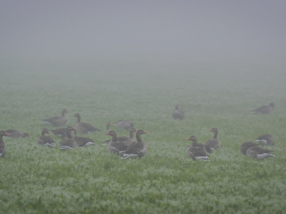 Graugänse im Nebel