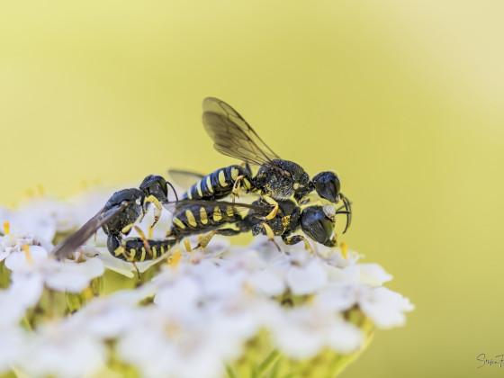 Wespenpaarung zu dritt