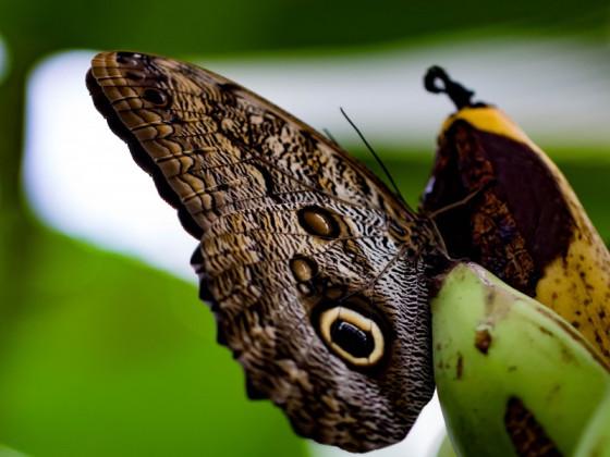 Caligo eurilochus - Gewöhnlicher Bananenfalter