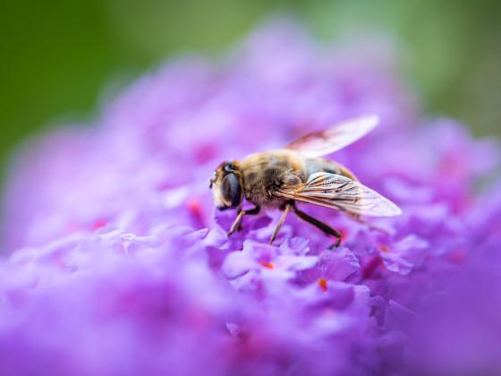 Biene und Flieder