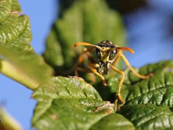 Wespe mit Verdauungstropfen
