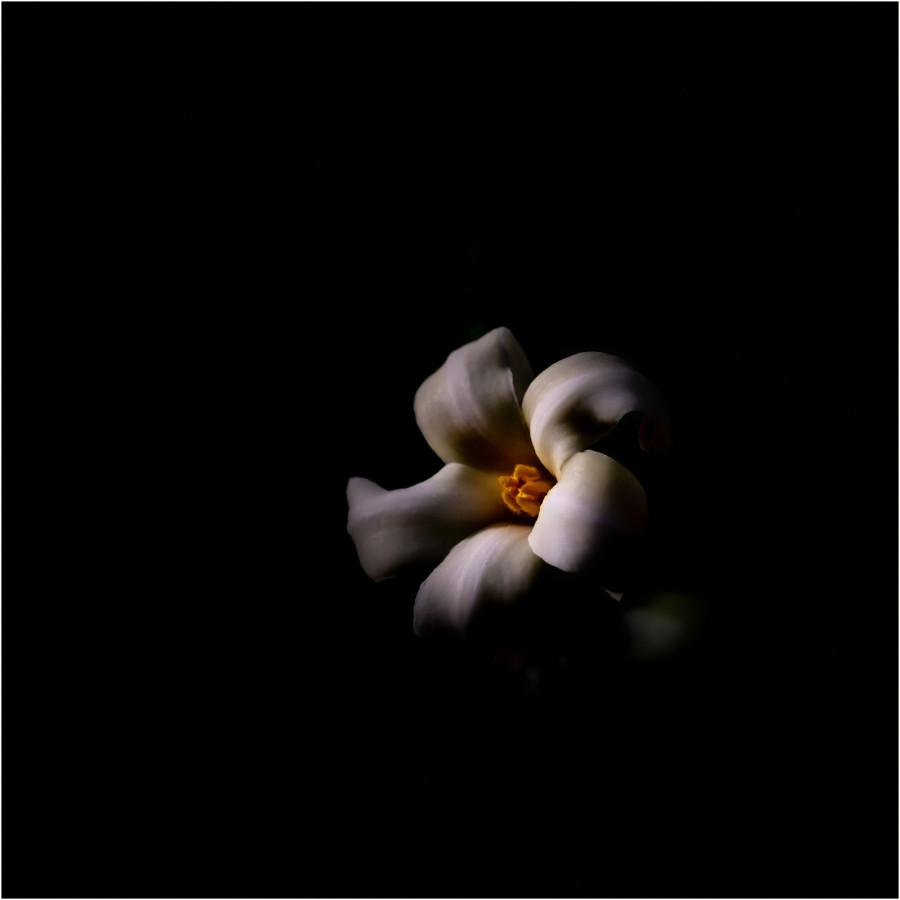 Blüte der Papaya