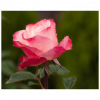 Eine Rosenblühte