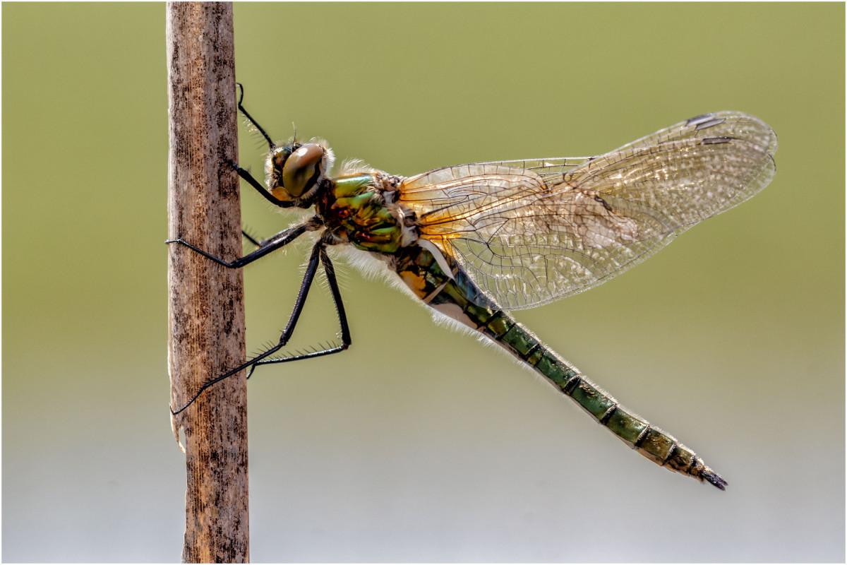Wunderwerk Libelle