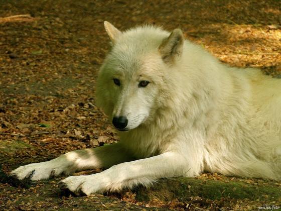 Polarwolf im Wolfspark