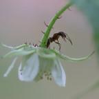Ameise auf Brombeerblüte