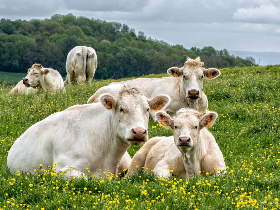 Drei Kühe...
