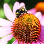 Bumblebee / Hummel