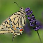 Schwalbenschwanz an Lavendel