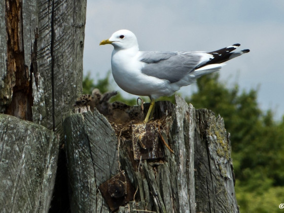 Möwe im Nest