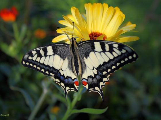 Schwalbenschwanz auf Ringelblume