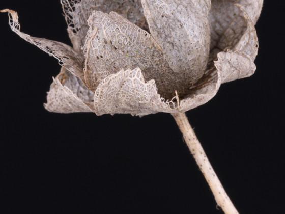 Vergehendes, Malvenblüte