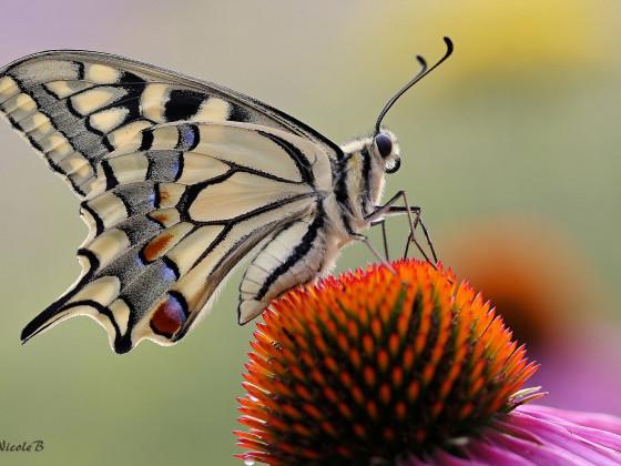 Schwalbenschwanz auf Echinacea