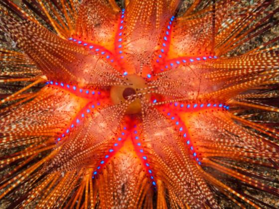 Astropyga radiata Roter Diademseeigel