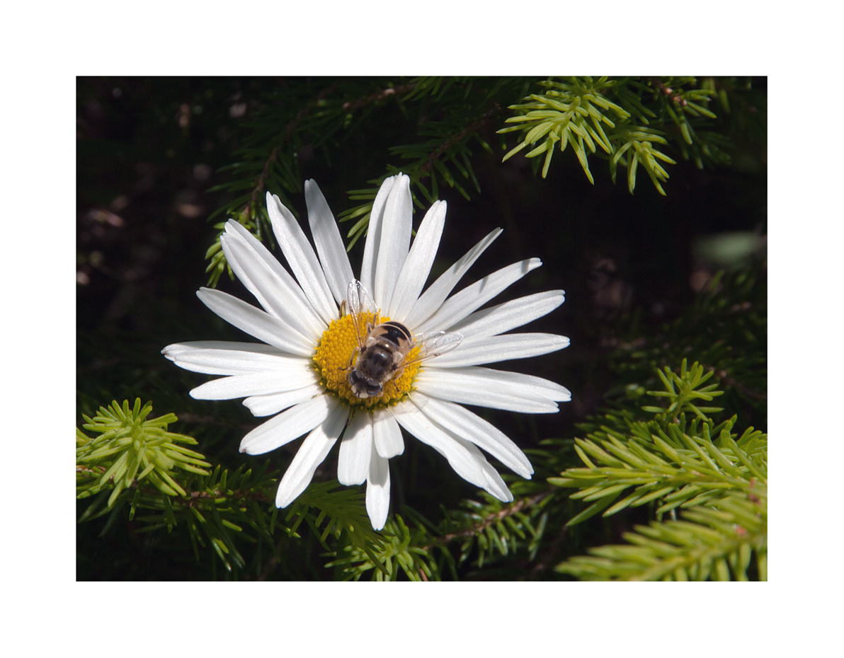 Margrithe