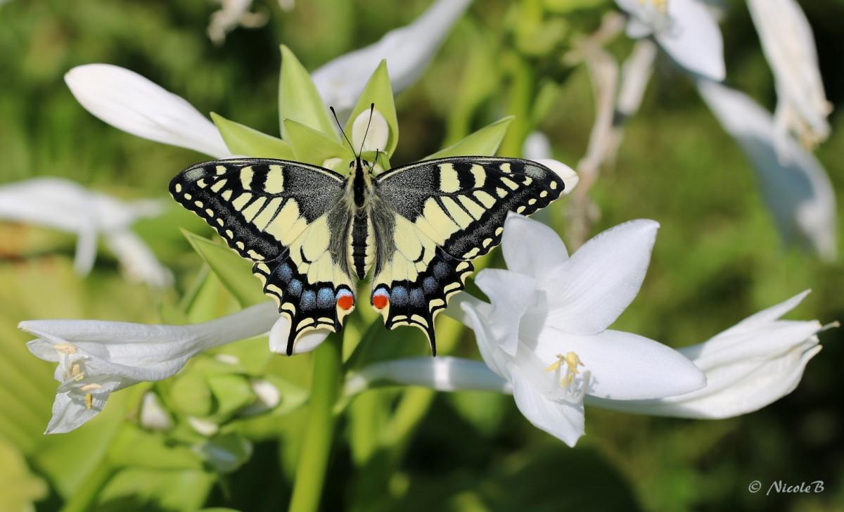 Schwalbenschwanz auf Herzblattlilie