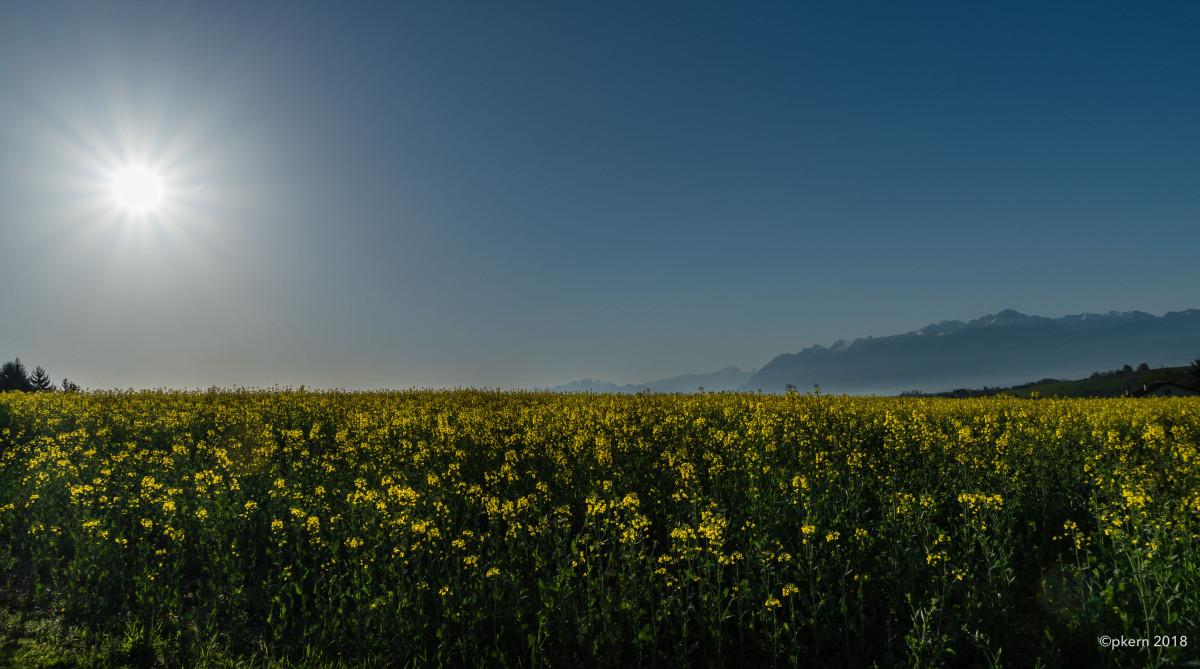 Guten Morgen Rapsfeld