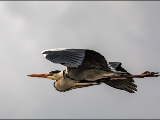 Graureiher im Flug