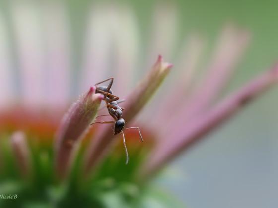 Ameise auf Sonnenhut