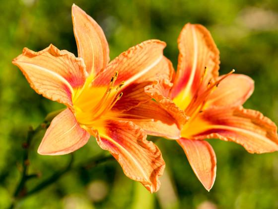 Lilium bulbiferum Feuerlilie