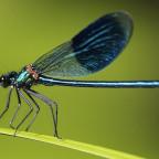 Libelle am Naturteich