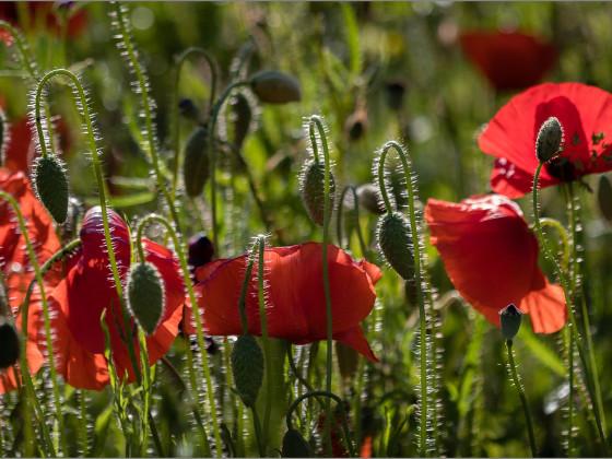 Blüten und Knospen
