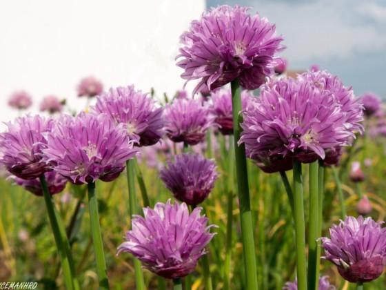Schnittlauch in Blüte