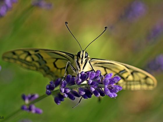 Schwalbenschwanz auf Lavendel