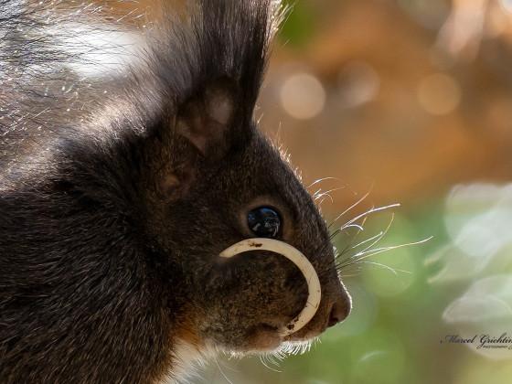 Mammut Eichhörnchen